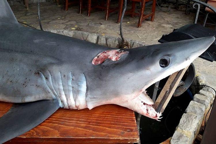 У берегов Черногории поймали самую быструю акулу